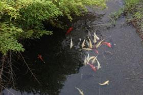 鯉が泳ぐ室津川│室戸の田舎暮らし移住